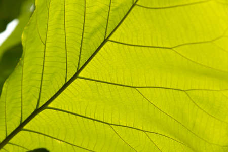 chlorophyll: Green leaf with veins background texture or pattern.