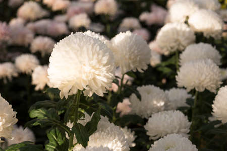 Beautiful white Mums or Chrysanthemums for flower background.