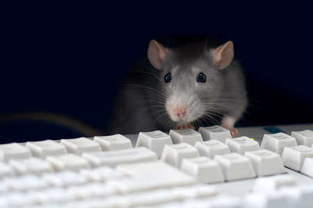 Gray rat at the computer, on the keyboard