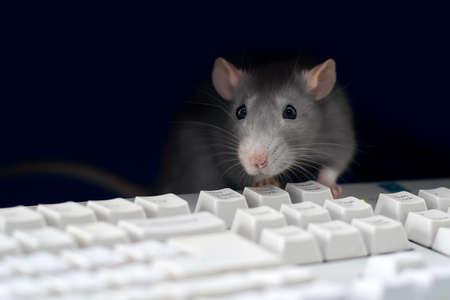 Gray rat bij de computer, op het toetsenbord Stockfoto