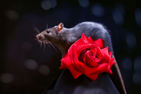 Rat and rose photo