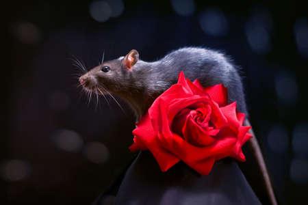 ratty: Rat and rose Stock Photo