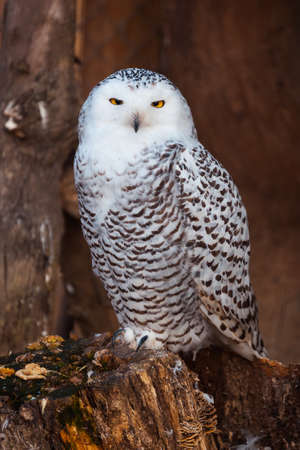 White owl sitting on stump in zoo photo