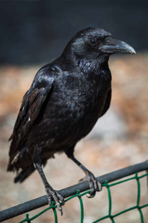 abstruse: Beautiful black crow sitting on the branch Stock Photo