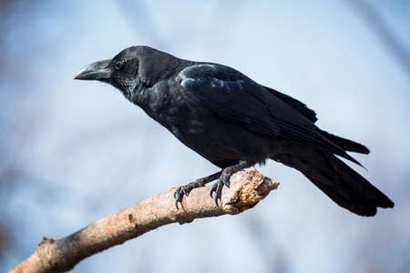 cuervo: Hermosa cuervo negro sentado en la rama Foto de archivo