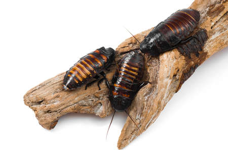 madagascar hissing cockroach: Madagascar hissing cockroaches Gromphadorhina portentosa isolated on white background