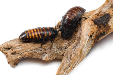 madagascar hissing cockroach: Madagascar hissin Cockroaches isolated on the white background Stock Photo