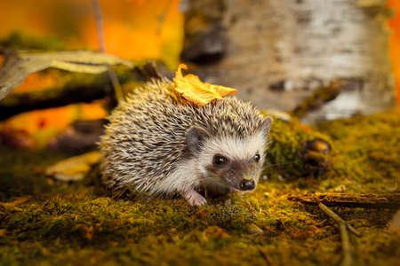 African pygmy hedgehog on moss