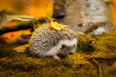 African pygmy hedgehog on moss