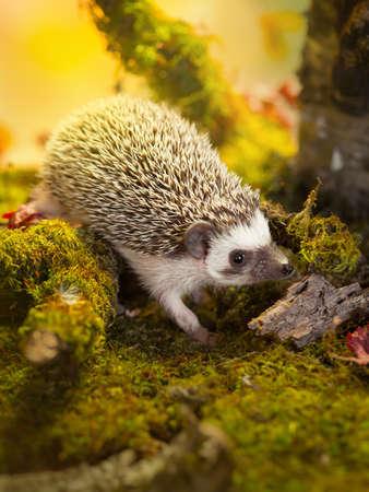 Small african pygmy hedgehog