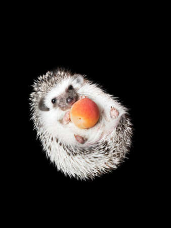 African pygmy hedgehog isolated on black background