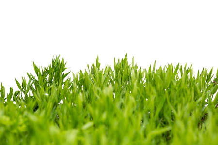 Lush green grass isolated on white background