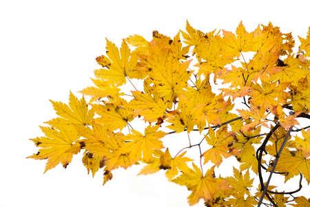 Gałąź jesiennych liści na białym tle