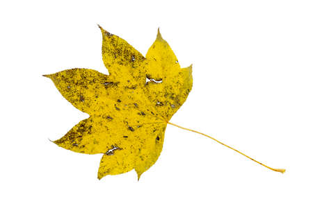 Close-up of autumn leaf on white background
