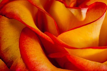 orange rose: Close up view of a pretty red orange rose