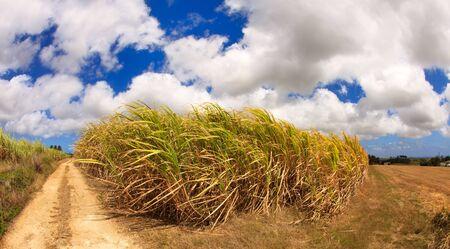 Super brede kijkhoek van een Caribisch suikerriet gebied van Barbados Stockfoto