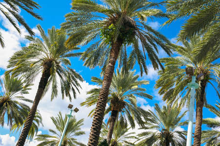 south miami: Beautiful tall palm trees on Lincoln Road in Miami Beach