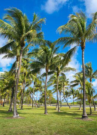 Beautiful tall coconut palm trees along Ocean Drive in Miami Beach
