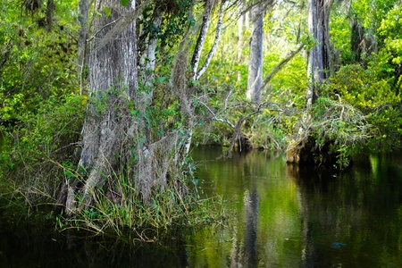 bayou swamp: Beautiful cypress trees in the Florida Everglades