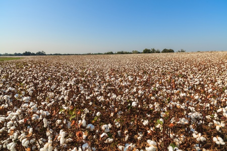 bolls: Beautiful cotton field in Alabama