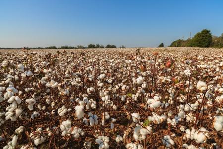 cotton crop: Beautiful cotton field in Alabama