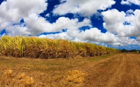 Beautiful sugarcane field located in the Caribbean in Barbados. photo