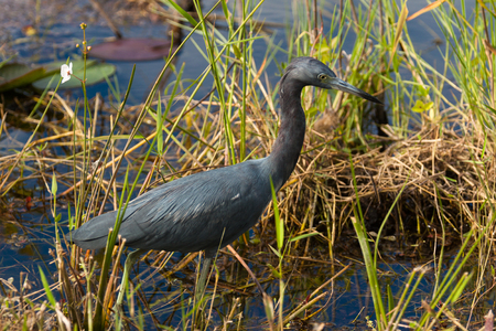 bayou swamp: Little Blue Heron from the Florida Everglades.
