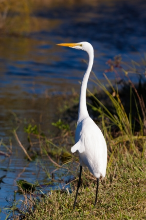 bayou swamp: Great White Egret in the Grand Cypress Preserve in the Florida Everglades.