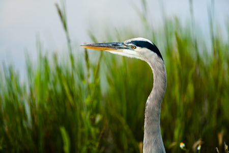 great blue heron: Great Blue Heron from the Florida Everglades.