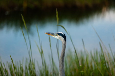 Great Blue Heron from the Florida Everglades. photo