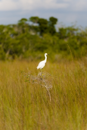sawgrass: Snowy Egret in the Grand Cypress Preserve in the Florida Everglades  Stock Photo