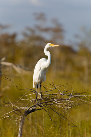 sawgrass: Great White Egret in the Grand Cypress Preserve in the Florida Everglades