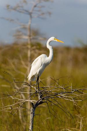 bayou swamp: Great White Egret in the Grand Cypress Preserve in the Florida Everglades