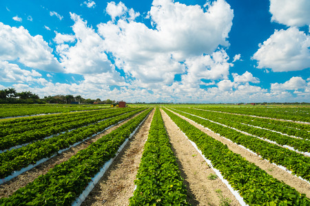 blue sky and fields: Landscape view of a freshly growing strawberry field