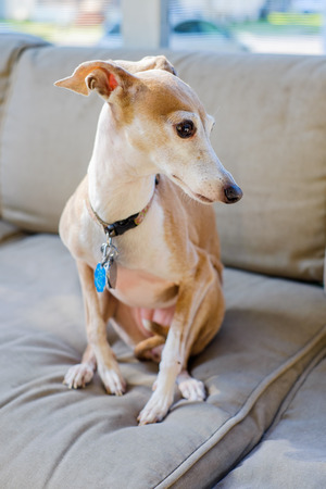 Portrait of a Italian Greyhound dog in a home setting  photo