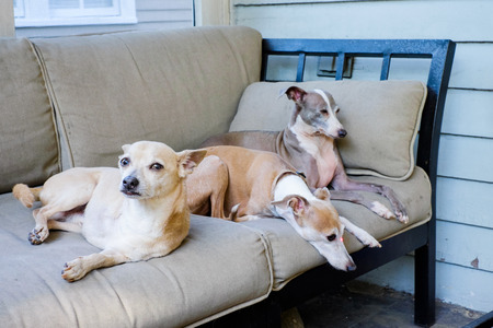 Portrait of Italian Greyhounds and a chihuahua in a home setting  photo