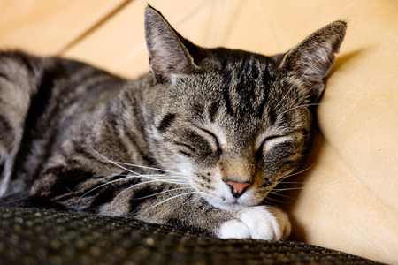 tabby cat: Close up view of a pretty female domestic tabby cat in a home setting.