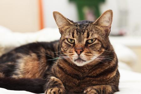 gato atigrado: Var�n hermoso gato atigrado dom�stico.