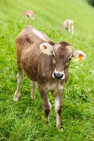 grazing: Dairy cows grazing on a Swiss mountain farm. Stock Photo