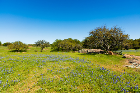 oak trees: Beautiful Texas Hill Country ranch with bluebonnets and oak trees on a sunny day. Stock Photo