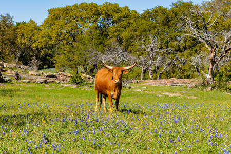 bluebonnet: A beautiful Watusi Longhorn mix cow standing proud in a bluebonnet field on a ranch in the Texas Hill Country.