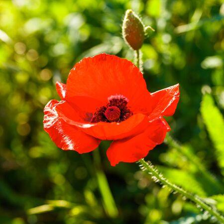 텍사스 힐 국가에서 아름 다운 빨간 양 귀 비 야생화.