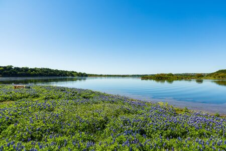 destination scenics: Beautiful bluebonnets along a lake in the Texas Hill Country. Stock Photo
