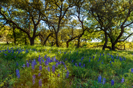 bluebonnet: Beautiful bluebonnets and oak trees in the Texas Hill Country.