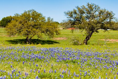bluebonnet: Beautiful Texas Hill Country ranch with bluebonnets and oak trees on a sunny day. Stock Photo
