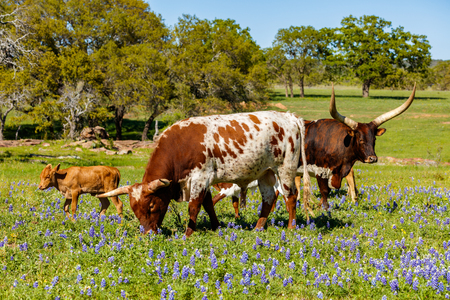 bluebonnet: Cattle grazing in a bluebonnet field on a ranch in the Texas Hill Country.
