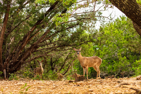 white tail: Pretty white tail doe in the Texas Hill Country.