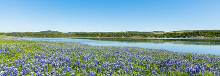 bluebonnet: Beautiful bluebonnets along a lake in the Texas Hill Country. Stock Photo