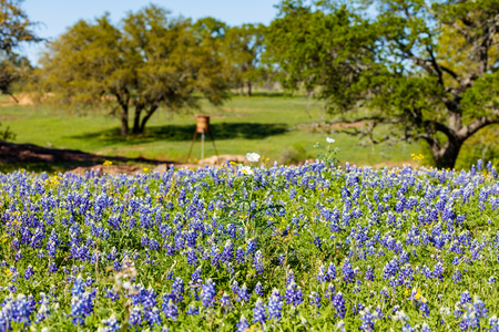 bluebonnet: Beautiful bluebonnets and other wildflowers along a hillside on a ranch in the Texas Hill Country.