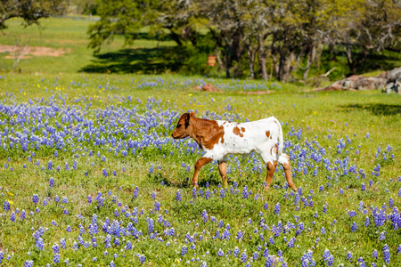 longhorn cattle: A beautiful Longhorn calf in a bluebonnet field on a ranch in the Texas Hill Country. Stock Photo